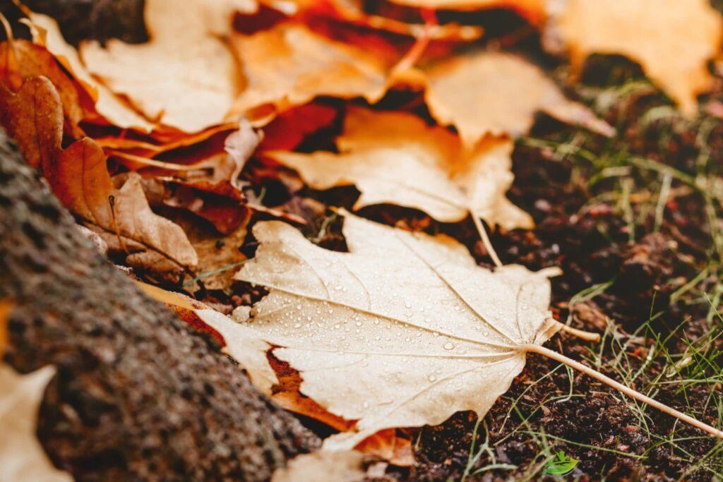 Laub im Garten: Auch Ahornblätter findet man