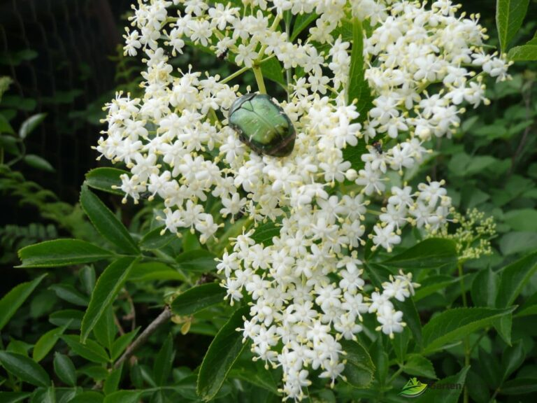 Holunderblüte mit Käfer - Holunder ist ein Allheilmittel