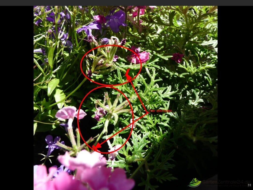 Verblühte Verbenenblüte entfernen