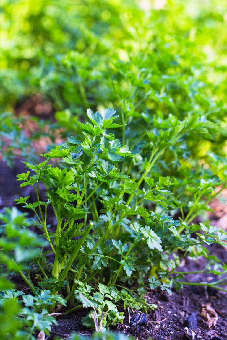 Pflanzen im März - Petersilie wächst