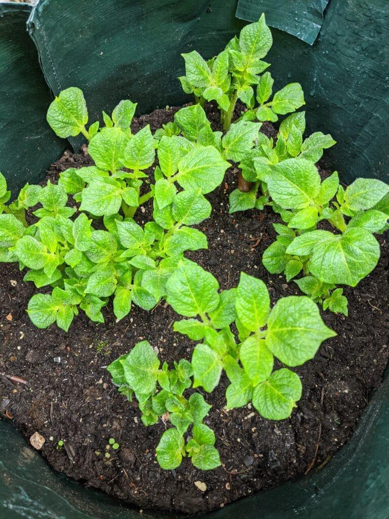 Kartoffeln im Kartoffelsack anbauen