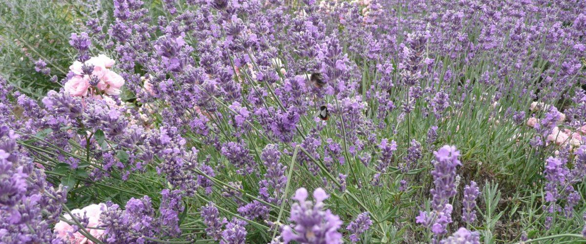 Großer Speik in voller Blüte - Lavendel